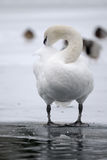 Cisne mudo preening en el lago congelado Imagenes de archivo