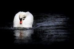 Cisne mudo que se acerca en postura de la amenaza fotografía de archivo