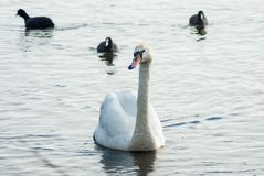 Cisne mudo que se acerca a la orilla, acompañada por tres c eurasiática imagenes de archivo