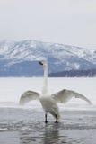 Cisne na água Fotos de Stock Royalty Free