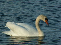 Cisne na água Foto de Stock