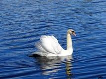 Cisne na água 1 Imagem de Stock