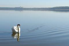 Cisne na água Imagens de Stock Royalty Free