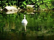 Cisne na água Fotografia de Stock Royalty Free