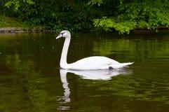cisne na água azul do lago no dia ensolarado Foto de Stock