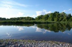 A cisne na água calma com um espelho perfeito gosta da reflexão das nuvens, do céu e das árvores fotos de stock