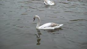 Cisne na água calma filme