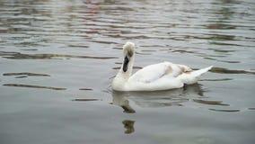 Cisne na água calma vídeos de arquivo
