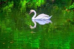 Cisne na água verde fotografia de stock royalty free