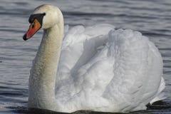 Cisne na associação do kenfig Fotos de Stock
