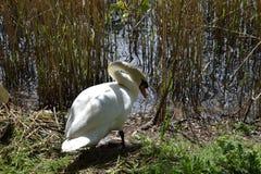 Cisne na cama de lingüeta na borda de um lago Foto de Stock