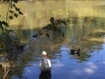 cisne na costa Imagem de Stock