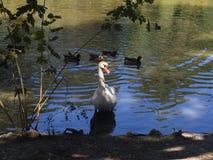 cisne na costa Fotografia de Stock Royalty Free