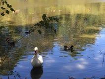 cisne na costa Imagens de Stock Royalty Free