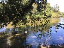 cisne na costa Fotografia de Stock