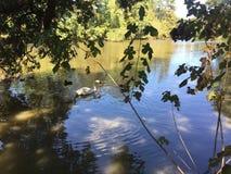 cisne na costa Imagens de Stock