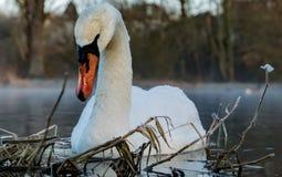 Cisne na geada e na água Fotografia de Stock