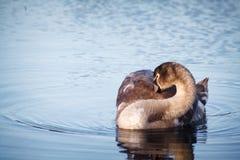 Cisne na ioga da água Imagem de Stock Royalty Free