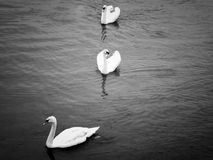 Cisne na Irlanda Foto de Stock Royalty Free