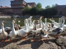 Cisne na lagoa imagens de stock