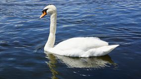 Cisne na lagoa. Imagem de Stock