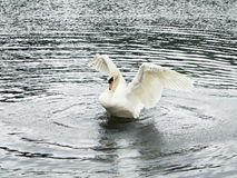 Cisne na lagoa Fotografia de Stock