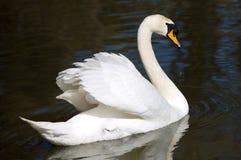 Cisne na liberdade Imagem de Stock Royalty Free