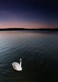 Cisne na noite Fotografia de Stock