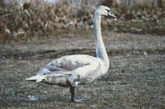 Cisne na primavera Fotos de Stock Royalty Free