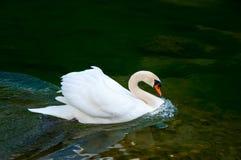 Cisne na superfície da água Imagem de Stock