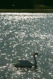 A cisne nada no lago entre um campo de golfe com uma bandeira foto de stock