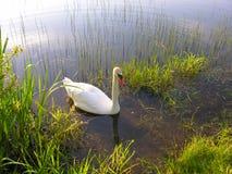 A cisne nada para suportar Imagem de Stock