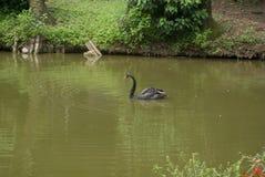 Cisne negro Imagen de archivo