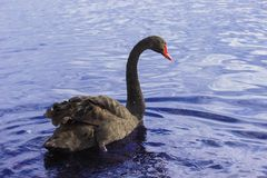 Cisne negro Foto de archivo