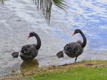 Cisne negro 02 Fotografía de archivo libre de regalías