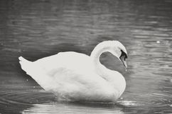 Cisne negro Fotografía de archivo libre de regalías