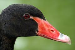 Cisne negro Fotos de archivo