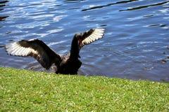 Cisne negro Fotografía de archivo
