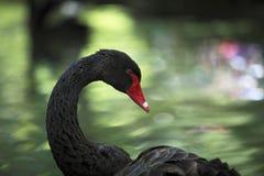 Cisne negro (atratus del Cygnus) Foto de archivo libre de regalías