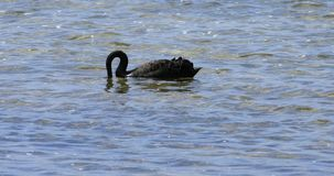 Cisne negro, atratus del Cygnus, 4K que nada metrajes