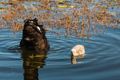 Cisne negro con el pollo del cisne que busca para la comida Fotos de archivo libres de regalías