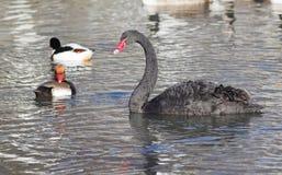 Cisne negro con los patos salvajes Imágenes de archivo libres de regalías