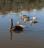 Cisne negro con los polluelos Imagen de archivo