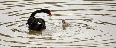 Cisne negro de la madre y del bebé en el lago imagenes de archivo