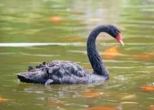 Cisne negro de Maui fotografía de archivo libre de regalías
