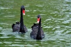 Cisne negro dos Fotografía de archivo