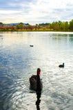 Cisne negro en el lago Fotografía de archivo libre de regalías