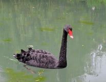 Cisne negro en el lago Imágenes de archivo libres de regalías