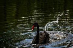 Cisne negro en el lago y Iris Gardens swan Foto de archivo libre de regalías