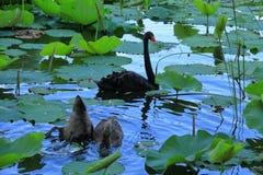 Cisne negro en el palacio de verano de Pekín, China foto de archivo